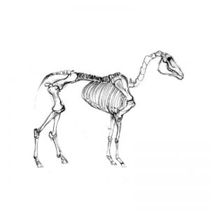 Horse's skeleton pencil drawing
