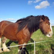 Young Clydesdale mare