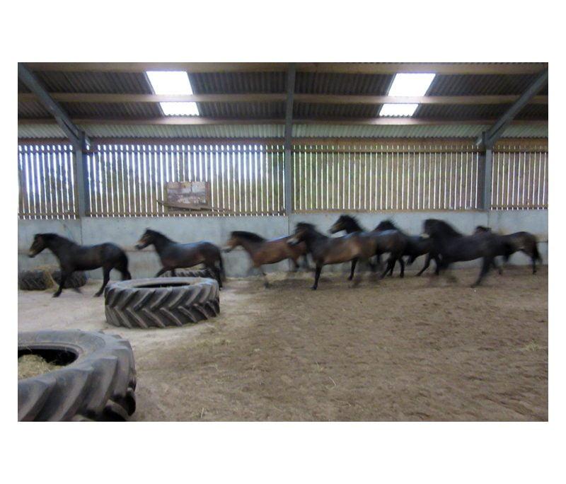 Dawn Westcott's wild Exmoor pony heard